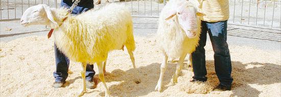 Pecore locali a rischio di estinzione: ma come fai a non amarle?!