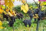 Piemonte doc Nebbiolo: il consorzio del Barolo e Barbaresco invita a studiare alternative