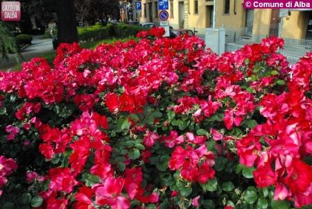 Foto Rose_1