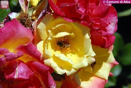 Foto Rose_3