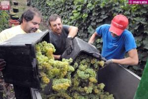 La vendemmia di Moscato in località Valeriano, a Treiso, nelle vigne di Alberto Drago.