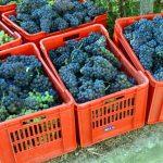 Entro fine mese la raccolta delle uve sarà conclusa