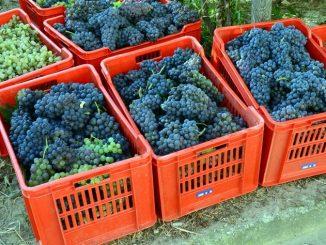 In Piemonte sono in crescita gli ettari vitati 1