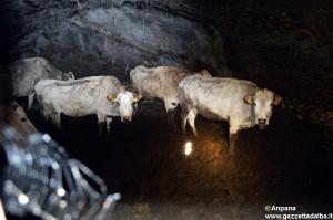 bovini-maltrattati-brossasco-marzo2014