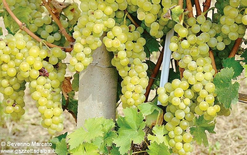 La Camera di commercio cambia i criteri per raccogliere i prezzi delle uve