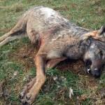 Trovato un lupo morto a Saliceto