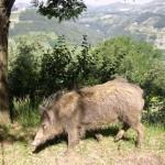Abbattuto il cinghiale selvatico che girava libero per Alba