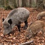 Coldiretti e Confagricoltura: troppi danni da parte degli animali selvatici