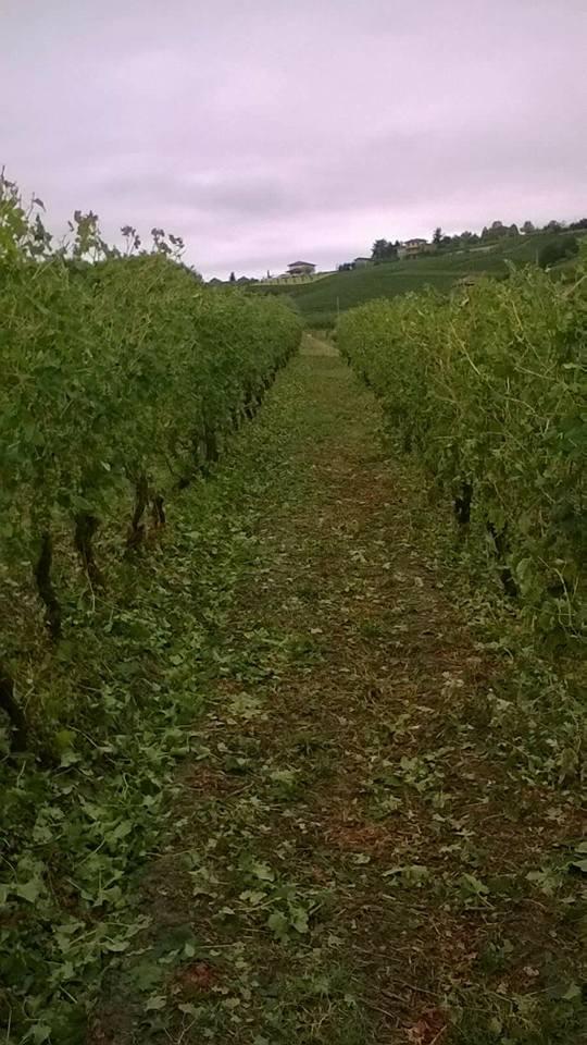 vigne costigliole