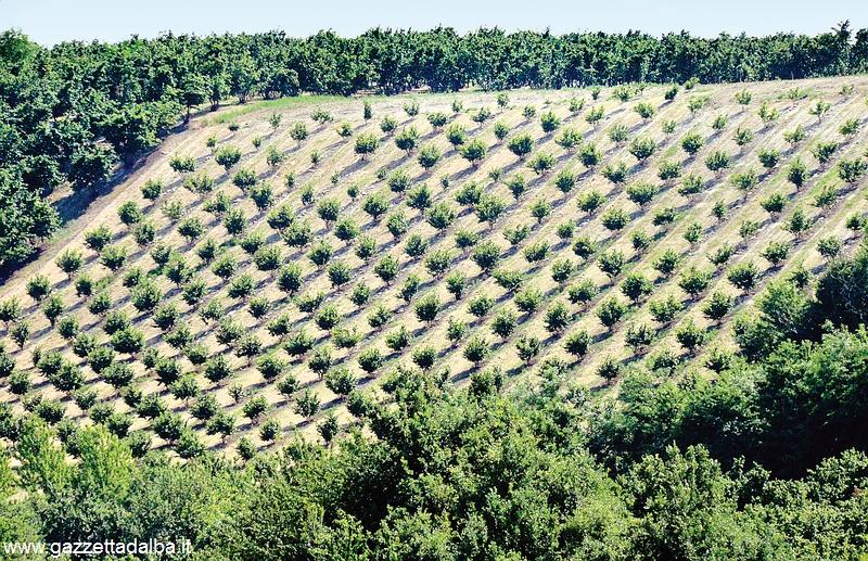 Accordo Ferrero-Ascopiemonte per piantare 700 ettari di noccioleti in Piemonte