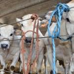 La tv inglese per la Grande rassegna bovina di Alba