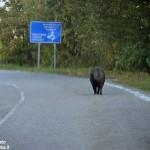 Una App gratuita segnala le strade a rischio di incidenti con animali