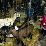 San Damiano: mercatino di animali al baluardo Palestro