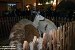 Alba l presepe degli animali  (3)
