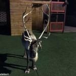 Sequestrata dalla Forestale la renna scampata all'incendio del villaggio natalizio