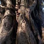 Registro degli alberi monumentali: le critiche di Italia Nostra