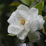 Una gardenia per aiutare l'Aism