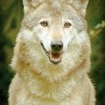 Aumentano gli avvistamenti di lupi in collina