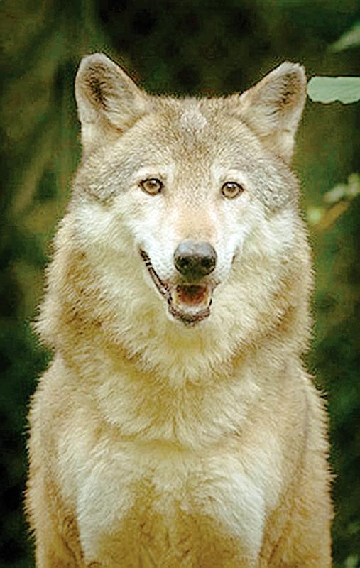 Aumentano gli avvistamenti di lupi in collina for Disegni di lupi da colorare