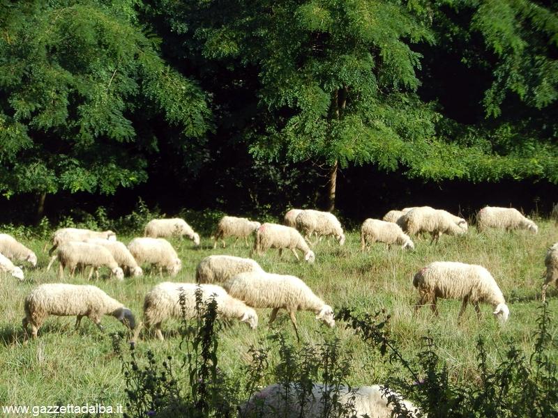 Pecore attaccate dai lupi a Murazzano