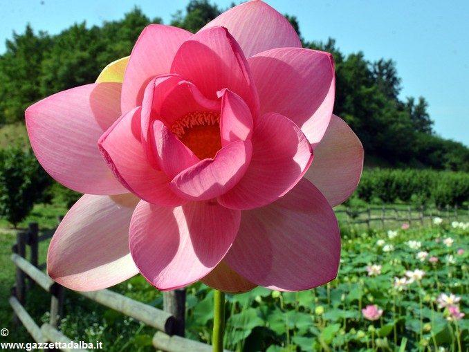 Da Ceresole all'Olanda, la storia dei fior di loto di cascina Gallina 2