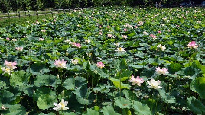 Da Ceresole all'Olanda, la storia dei fior di loto di cascina Gallina