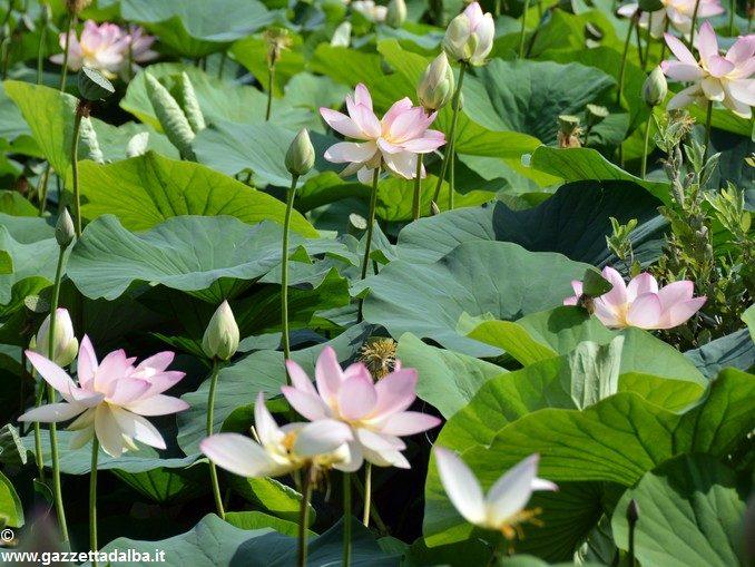 Da Ceresole all'Olanda, la storia dei fior di loto di cascina Gallina 1