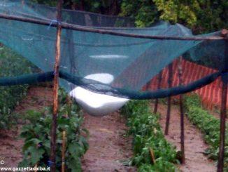 Grandine su vigne e noccioleti: danni limitati 2