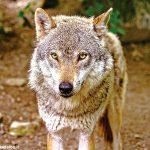 Attacchi da lupo nel Pinerolese. La Cia: servono piani di contenimento