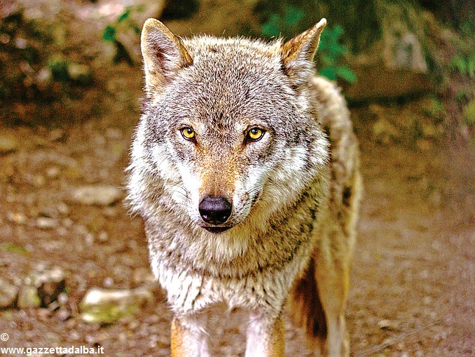 Lupi la coldiretti chiede gli abbattimenti selettivi for Disegni di lupi da stampare