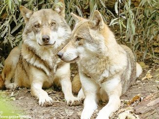 Lupi avvistati anche nella bassa Langa