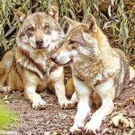 Allevatori in allarme per gli attacchi dei lupi