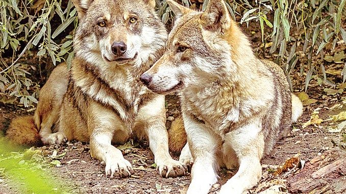 La convivenza tra pecore e lupi è possibile?