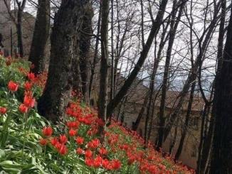 Se gli Occhi del sole fioriscono al castello sabaudo di Govone