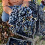 Le gelate tardive creano allarme per l'uva e la frutta