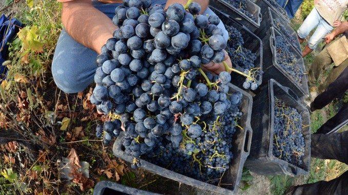 Le gelate tardive creano allarme per l'uva e la frutta 1
