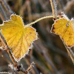 Coldiretti: la brina danneggia i vigneti e l'ortofrutta del Piemonte