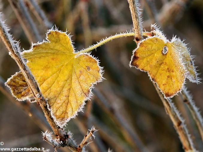 brina foglia autunno