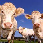 """Allevamenti bovini cuneesi bloccati dalla normativa per contrastare la """"blue tongue"""""""