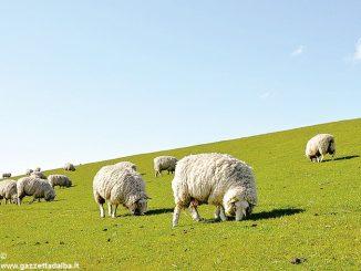 San Benedetto Belbo vuole usare le pecore per curare i prati