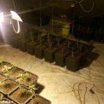 Marijuana nell'orto, in serra e nel bosco. Un arresto a Cherasco