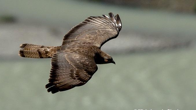 Sabato 26 agosto nel parco del Monviso si osserva la migrazione del Falco pecchiaiolo
