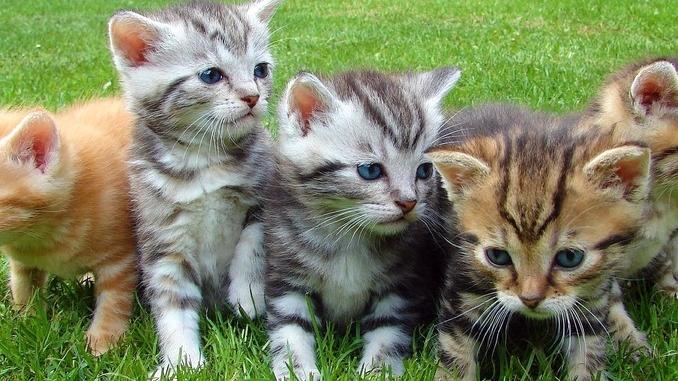 Mettere il microchip al gatto. Al gattile di Alba si può, prenotando