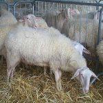 Premiati gli allevatori di ovini alla Fiera di Murazzano