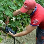 Cinquanta quintali di uva eccellente nel carcere di Alba