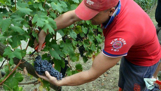 Cinquanta quintali di uva eccellente nel carcere di Alba 1