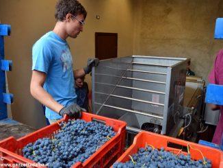 Cinquanta quintali di uva eccellente nel carcere di Alba 2