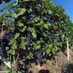 Il Nebbiolo è una macchina da vino