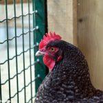 Aviaria: rischiano l'abbattimento 50 mila esemplari