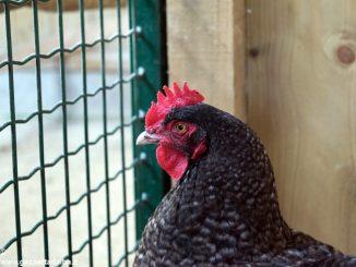 Influenza aviaria in due allevamenti dell'Astigiano. Zone di protezione